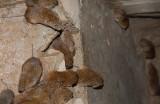 洞庭湖のネズミ